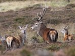 Red Deer in the Braes of Glenlivet