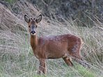 Roe Deer just below The Mill House