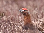 Red Grouse live on the moor above Corrie Cottage