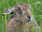 Brown Hare are frequent visitors to the gardens