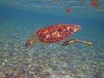 Sea Turtle and remora