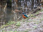 Local kingfisher