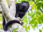 Howler monkey (neighbors)