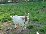 billy goat ( Harry )
