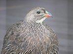Francoline Bird in the garden