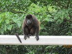 Howler Monkey on bridge. Most mornings you can hear them and see monkeys by walking in the hills.