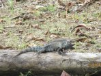 Black iguana sunning nearby. Many iguanas can be seen including the big green variety.
