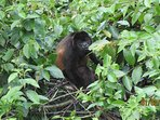 Howler monkey grazing in the trees.