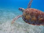 Swim with the turtles... Take a day trip to the Tobago cays on board the Heron . A perfect day out.