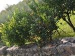Citrus (sicilian orange and lemons )garden