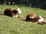 Award Winning Hereford Calves resting in the meadows