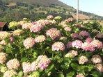 nuestras bonitas hortensias