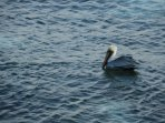 Nigel, the pelican comes to feed every afternoon. He is quite the fisherman!