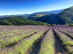 La lavande, le coeur de la Provence