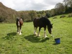 Clyde and Ed the shire horses
