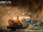 Mama Red Fox in den with cubs