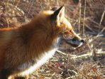 Delaware Red fox-  They are everywhere. Listen for the Vixen scream-