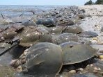 Horseshoe Crabs, prehistoric creatures, come here every spring to mate at high tide. When the tide l