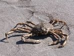 Spider Crab- not the eating kind