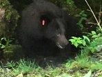 Black Bear at the Mendenhall Glacier area