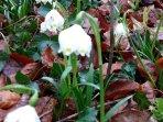 Frühling - die ersten Märzbecher sind da