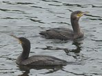 Cormorants are all year around
