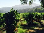 A morning walk in the vineyards