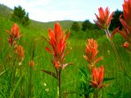 Marvel at the sight of Indian Paintbrush in the neighboring meadow.