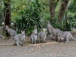 Wallabies gather for breakfast at Maleny Country Cottages.
