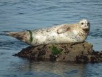 Regular sightings of Seals basking on the rocks