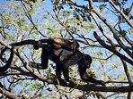 Our most favorite neighbors. The howler monkeys.