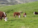 Cornriggs award winning Hereford Cows on the fell land that is about a mile away from our farm