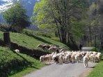 Le patou chien des pyrénées conduit le troupeau