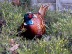 Pheasants frequently inhabit our garden as do a wide variety of wildlife. Enjoy from inside house!