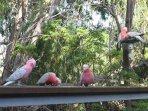 Galahs visit the deck often.