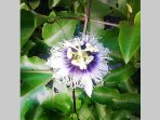 Passiflora, blossoms of the Passionfruit Vine