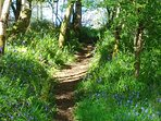 Islay - Bluebells in Bridgend woods