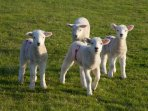 Gang of mischievous lambs!