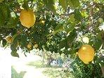 A lemon tree in the garden