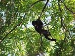 Local monkeys swinging from condominium trees