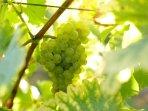 Le cépage Sauvignon, un des incontournables vins de Touraine