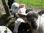 You are welcome to help feed the lambs!