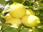 Lemon tree in the garden