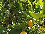 Our oranges