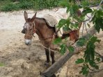 Patient donkey waits for his owner at the local bar/cafe to finish playing dominoes - back in time!