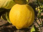 Fresh lemons!