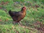 Une des poulettes