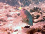 A beautiful big parrot fish at Sapphire Beach
