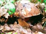 Un fungo porcino della Val di Cornia