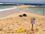 Hawaiian Monk seals sunning on the beach at Poipu Beach park - a 5 minute walk!
